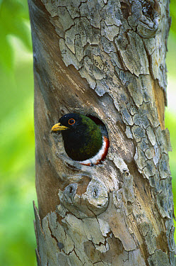 Elegant Trogon (Trogon elegans) at nest in sycamore tree, Arizona  -  Tom Vezo