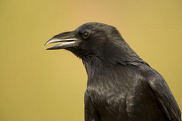 Common Raven (Corvus corax), Green Valley, Arizona  -  Tom Vezo