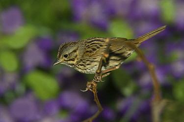 Lincoln's Sparrow (Melospiza lincolnii) perching on twig, Rio Grande Valley, Texas  -  Tom Vezo