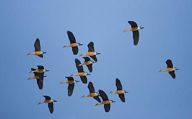 Fulvous Whistling Duck (Dendrocygna bicolor) flock flying, North America  -  Tom Vezo