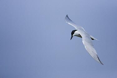 Gull-billed Tern (Gelochelidon nilotica) flying, Rio Grande Valley, Texas  -  Tom Vezo