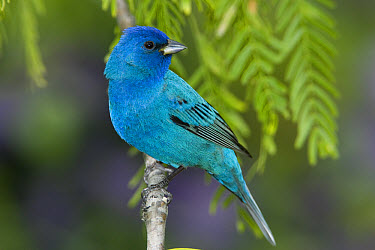 Indigo Bunting (Passerina cyanea) male perched on branch, Rio Grande Valley, Texas  -  Tom Vezo