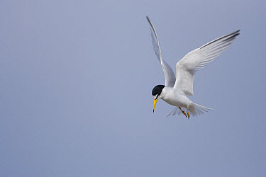 Least Tern (Sterna antillarum) hovering, Rio Grande Valley, Texas  -  Tom Vezo