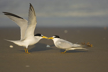 Least Tern (Sterna antillarum) pair interacting on beach, Rio Grande Valley, Texas  -  Tom Vezo