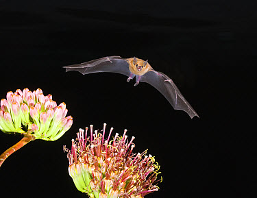 Lesser Long-nosed Bat (Leptonycteris yerbabuenae) flying at night, approaching Agave flower to feed, North America  -  Tom Vezo