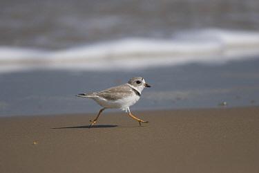 Piping Plover (Charadrius melodus) running along shoreline, Rio Grande Valley, Texas  -  Tom Vezo