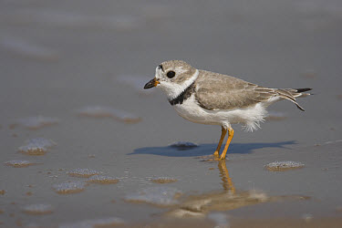 Piping Plover (Charadrius melodus) wading in shallow water, Rio Grande Valley, Texas  -  Tom Vezo