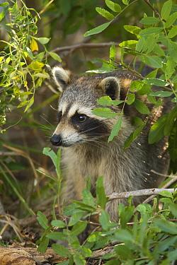 Raccoon (Procyon lotor) individual, Florida  -  Tom Vezo