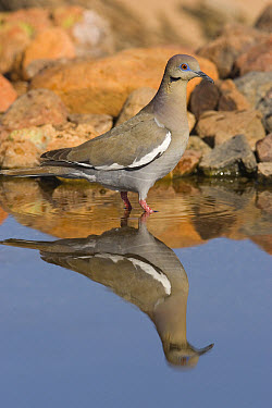 White-winged Dove (Zenaida asiatica) wading in puddle, Green Valley, Arizona  -  Tom Vezo