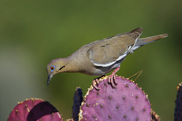 White-winged Dove (Zenaida asiatica) on cactus, Green Valley, Arizona  -  Tom Vezo