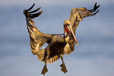 Brown Pelican (Pelecanus occidentalis) flying, California  -  Tom Vezo