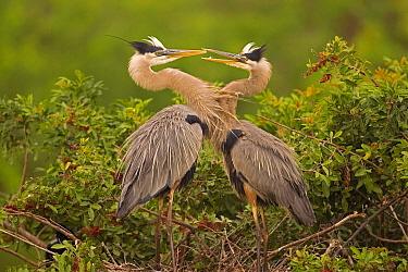 Great Blue Heron (Ardea herodias) pair interacting on nest in mangroves, Venice, Florida  -  Tom Vezo