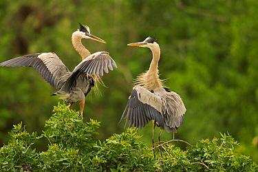 Great Blue Heron (Ardea herodias) pair interacting, Venice, Florida  -  Tom Vezo