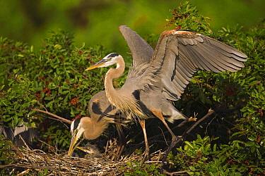 Great Blue Heron (Ardea herodias) parents with chick on nest, Venice, Florida  -  Tom Vezo