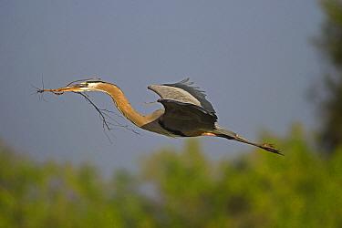 Great Blue Heron (Ardea herodias) flying with nesting material, Venice, Florida  -  Tom Vezo