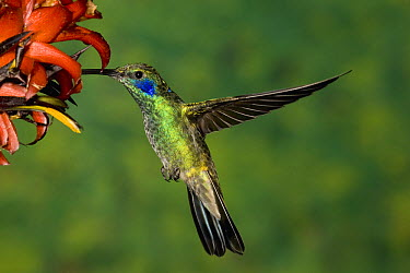 Green Violet-ear (Colibri thalassinus) hummingbird visiting flower, Costa Rica  -  Tom Vezo