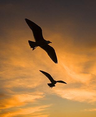 Mew Gull (Larus canus) pair silhouetted at sunset in La Jolla, California  -  Tom Vezo