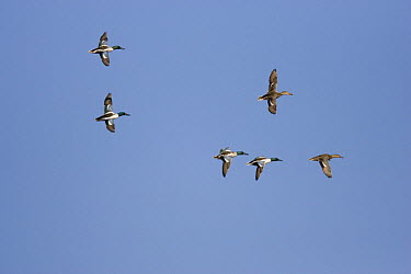 Northern Shoveler (Anas clypeata) flock of six birds flying, Tucson, Arizona  -  Tom Vezo