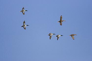 Northern Shoveler (Anas clypeata) flock of six birds flying, Tucson, Arizona  -  Tom Vezo