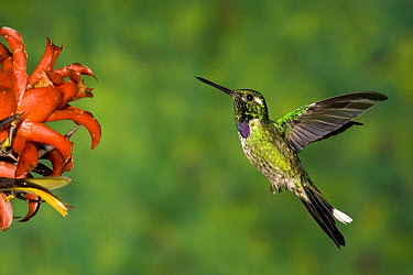 Purple-bibbed Whitetip (Urosticte benjamini) hummingbird hovering near flower, Andes, Ecuador  -  Tom Vezo