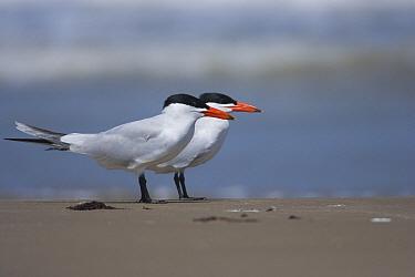Caspian Tern (Hydroprogne caspia) pair on beach, South Padre Island, Texas  -  Tom Vezo