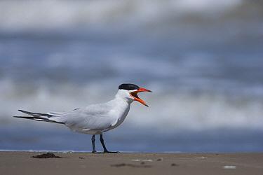 Caspian Tern (Hydroprogne caspia) calling, South Padre Island, Texas  -  Tom Vezo
