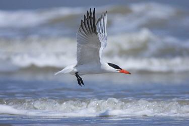 Caspian Tern (Hydroprogne caspia) flying, South Padre Island, Texas  -  Tom Vezo
