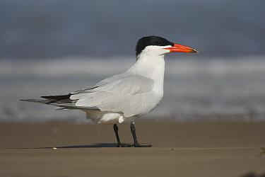 Caspian Tern (Hydroprogne caspia) on beach, South Padre Island, Texas  -  Tom Vezo