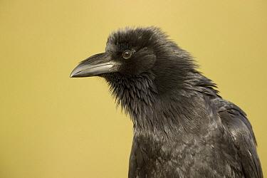 Common Raven (Corvus corax) portrait, Green Valley, Arizona  -  Tom Vezo
