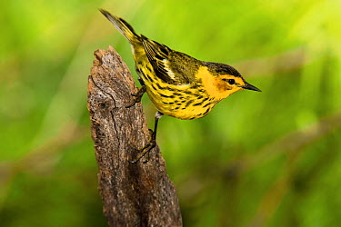 Cape May Warbler (Setophaga tigrina) male, Rio Grande Valley, Texas  -  Tom Vezo