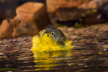 Nashville Warbler (Oreothlypis ruficapilla) bathing, Rio Grande Valley, Texas  -  Tom Vezo