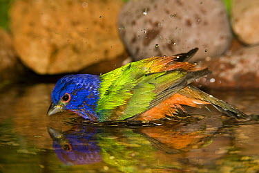 Painted Bunting (Passerina ciris) male bathing, Rio Grande Valley, Texas  -  Tom Vezo