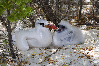 White-tailed Tropicbird (Phaethon lepturus) mother and chick, Rio Grande Valley, Texas  -  Tom Vezo