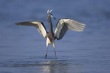 Tricolored Heron (Egretta tricolor) landing, Rio Grande Valley, Texas  -  Tom Vezo