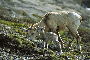 Bighorn Sheep (Ovis canadensis) mother and baby grazing together, Rocky Mountains, North America  -  Sumio Harada