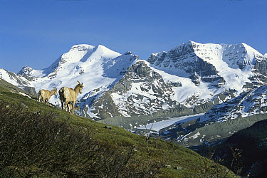 Bighorn Sheep (Ovis canadensis) herd on slope, Rocky Mountains, North America  -  Sumio Harada