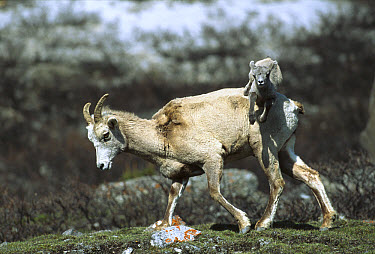 Bighorn Sheep (Ovis canadensis) baby leaping over its mother's back, Rocky Mountains, North America  -  Sumio Harada