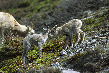 Bighorn Sheep (Ovis canadensis) babies nuzzling each other, Rocky Mountains, North America  -  Sumio Harada