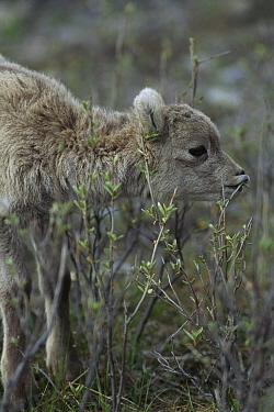 Bighorn Sheep (Ovis canadensis) baby browsing on vegetation, Rocky Mountains, North America  -  Sumio Harada