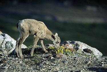 Bighorn Sheep (Ovis canadensis) baby grazing, Rocky Mountains, North America  -  Sumio Harada