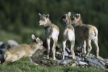 Bighorn Sheep (Ovis canadensis) four young sheep, Rocky Mountains, North America  -  Sumio Harada