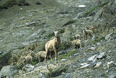 Bighorn Sheep (Ovis canadensis) female and six young, Rocky Mountains, North America  -  Sumio Harada