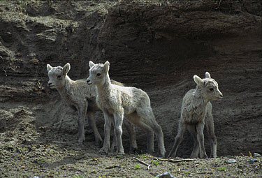 Bighorn Sheep (Ovis canadensis) young, Rocky Mountains, North America  -  Sumio Harada