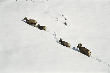 Bighorn Sheep (Ovis canadensis) group of four traveling through deep snow, Rocky Mountains, North America  -  Sumio Harada