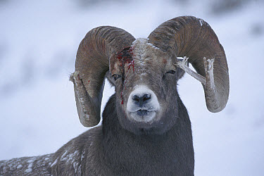 Bighorn Sheep (Ovis canadensis) male with broken horn and bleeding injury from competing with other males for females, Rocky Mountains, North America  -  Sumio Harada