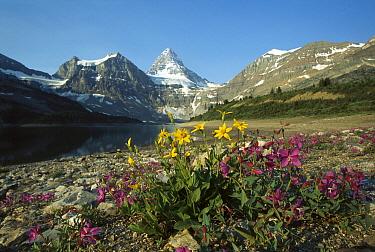 Dwarf Fireweed (Epilobium latifolium) and Arnica (Arnica sp) growing in Rocky Mountains, North America  -  Sumio Harada