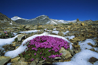 Moss Campion (Silene acaulis) partially covered in snow, Rocky Mountains, North America  -  Sumio Harada