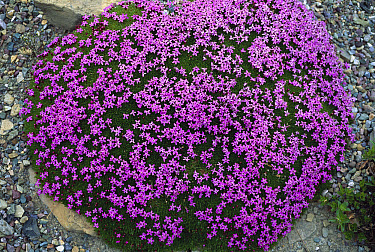 Moss Campion (Silene acaulis) top view, Rocky Mountains, North America  -  Sumio Harada