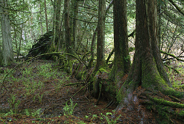 Nurse log on ground with new trees growing from it, Rocky Mountains, North America  -  Sumio Harada