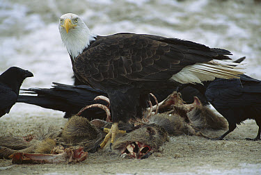 Bald Eagle (Haliaeetus leucocephalus) and Common Raven (Corvus corax) group feeding on carcass, Rocky Mountains, North America  -  Sumio Harada